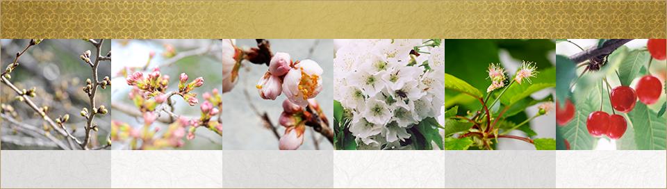 山形県天童市にある、美味しい果物を栽培・生産しているフルーツ果乃蔵のさくらんぼの発育の様子