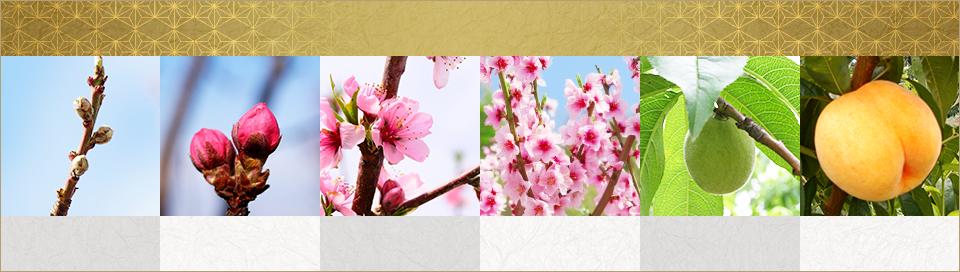 山形県天童市にある、美味しい果物を栽培・生産しているフルーツ果乃蔵の桃の発育の様子