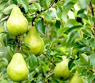 山形県天童市にある、美味しい果物を栽培・生産しているフルーツ果乃蔵のフルーツの果物の成長と発育